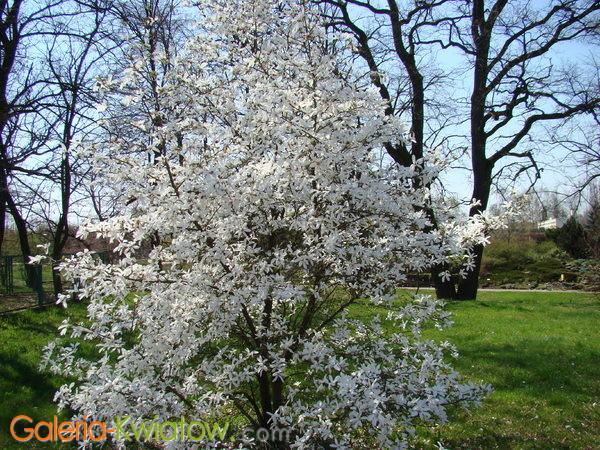 Magnolia krzew ozdobny