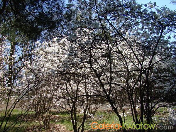 Magnolia krzewy