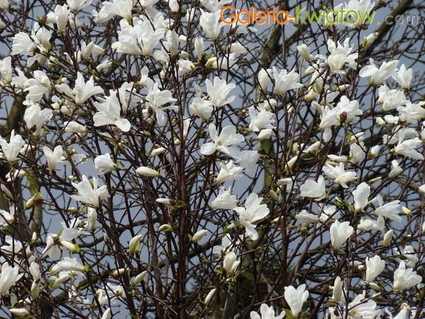 Magnolia kwitnienie