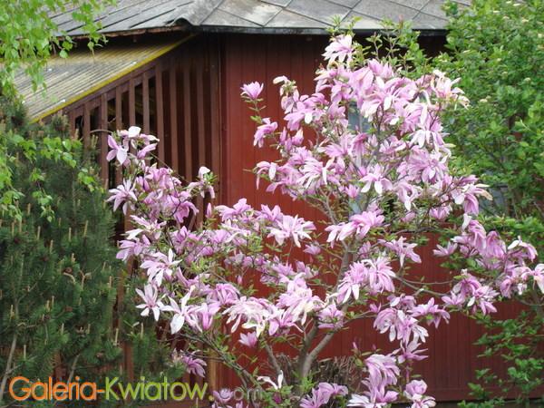 Magnolia na działce