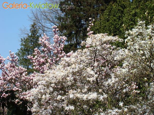 Magnolia odmiany