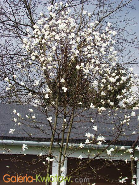 Magnolia ogród