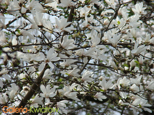 Magnolia ogrodowa