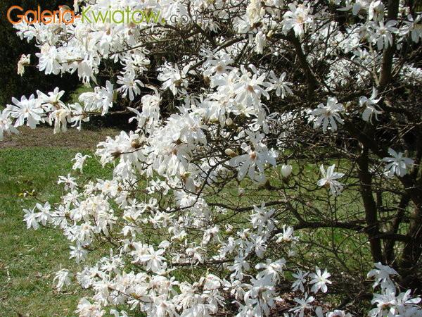 Magnolia okres kwitnienia