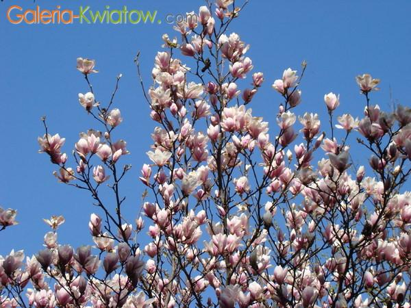Magnolia olbrzymia