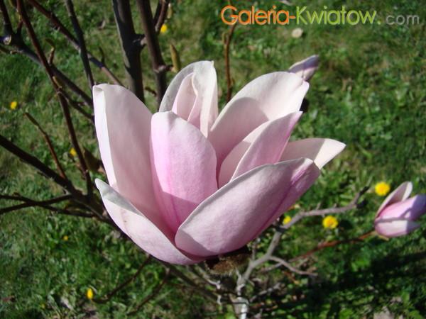 Magnolia płatki
