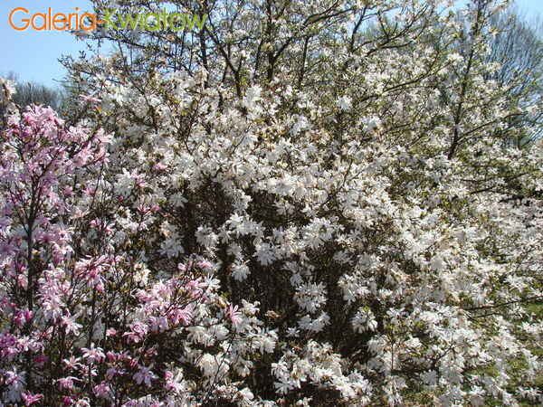 Magnolia rodzaje