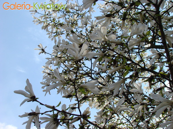 Magnolia roślina