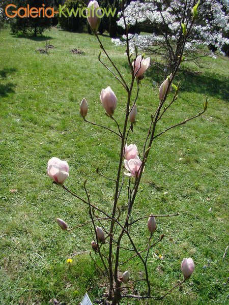 Magnolia sadzenie