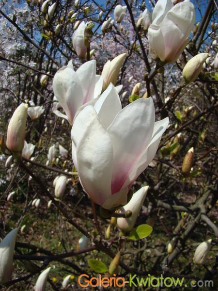 Magnolia wielkolistna