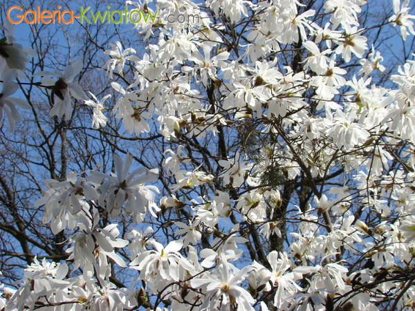 Magnolia wysoka