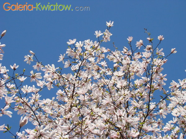 Magnolie białe