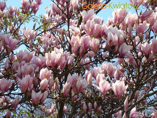 Magnolie krzewy