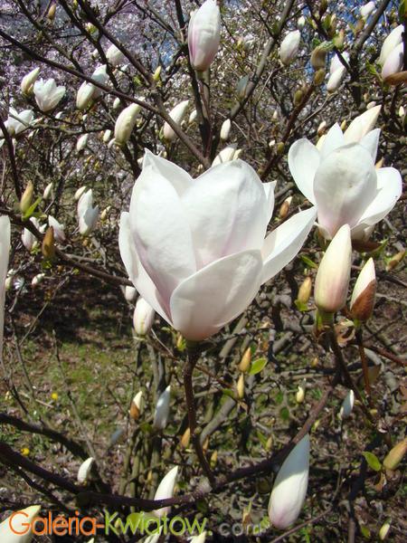 Magnolie kwiaty