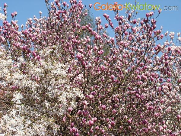 Magnolie odmiany