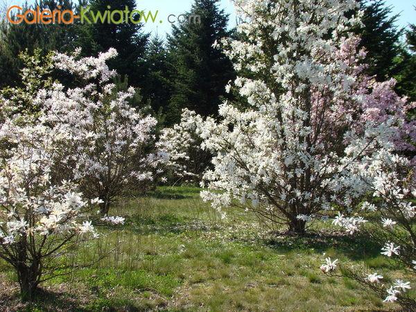 Magnolie ogród