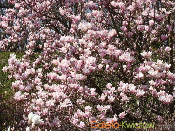 Magnolie różowe