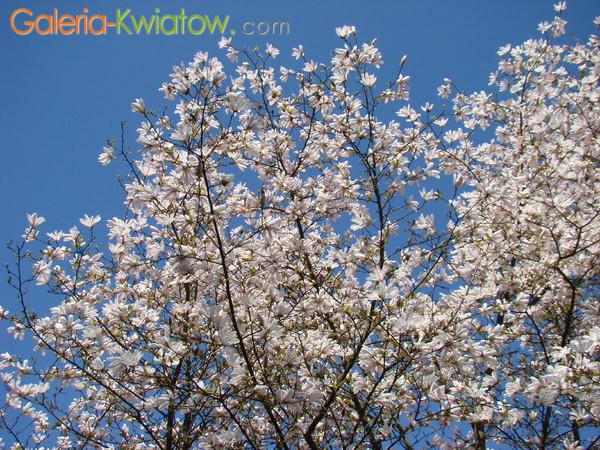Magnolie w ogrodzie