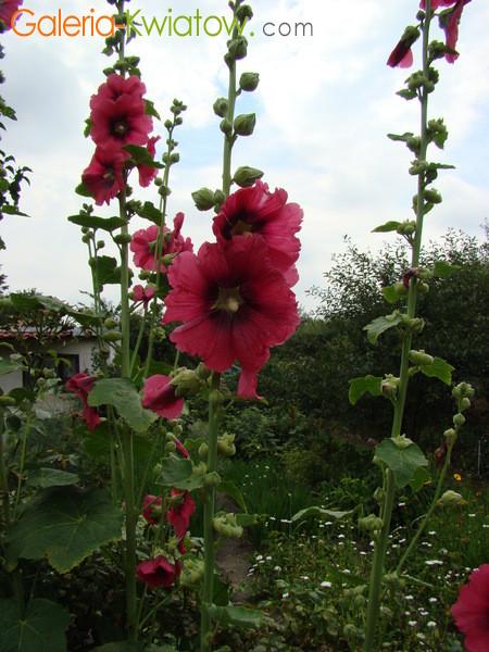 Malwa kwiat