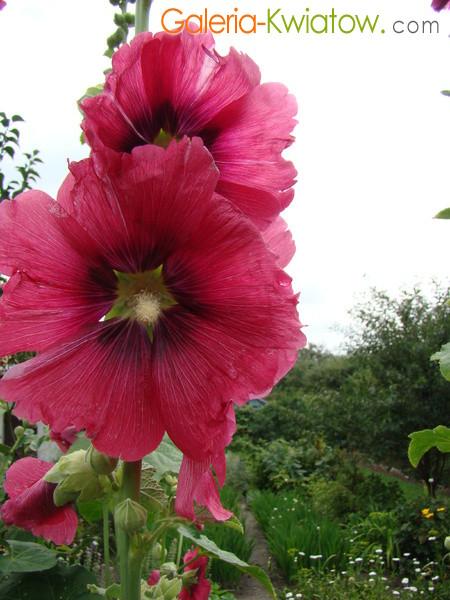 Malwa kwiaty malwy