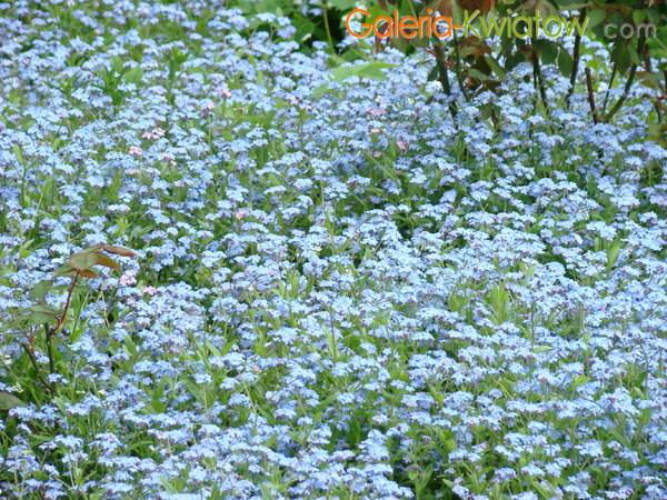 Niezapominajka kwiatek