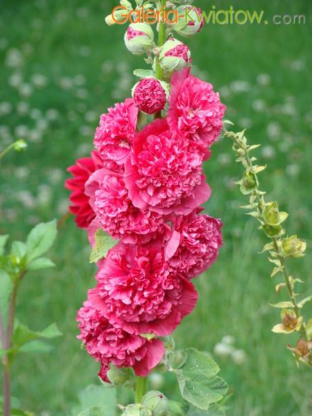 Pełna kwiaty malwy