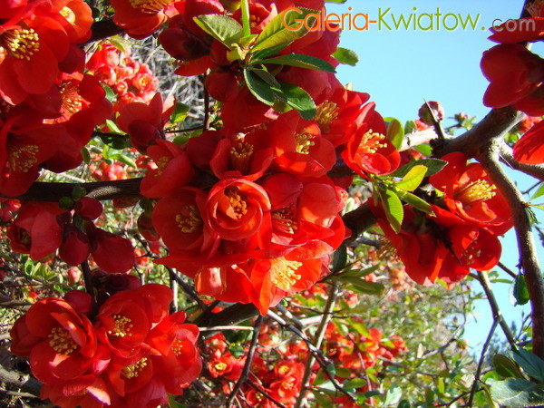 Pigwa kwiat