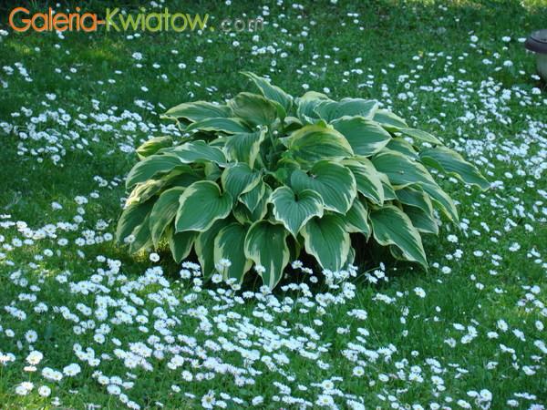 Roślina o ozdobnych liściach
