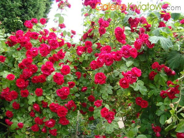 Róża okrywowa