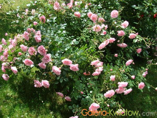 Róża pienna