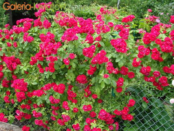 Róże galeria