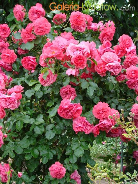 Róże na altanie