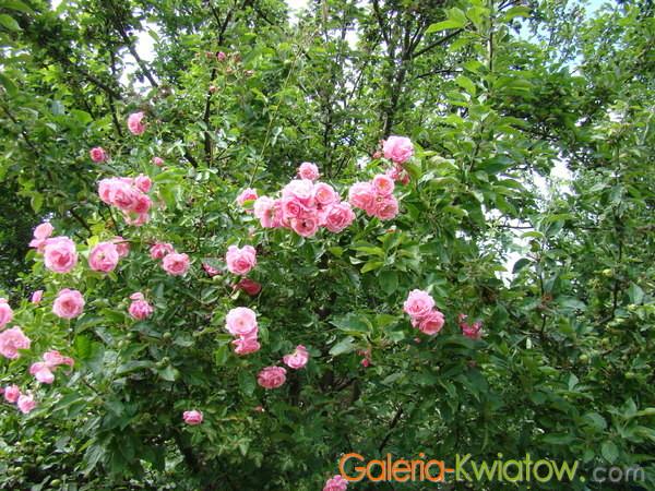 Róże w lesie