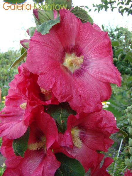 Różowe kwiaty malwy