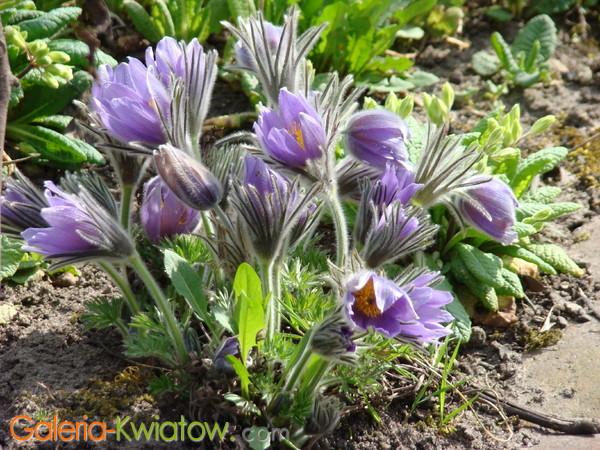 Sasanka kwiat wiosenny
