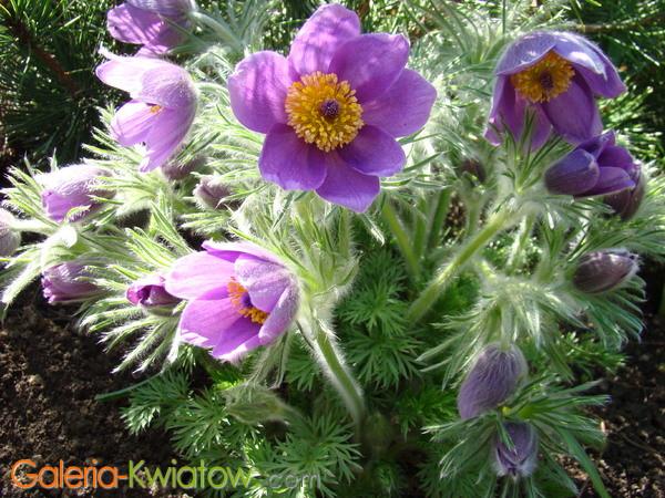 Sasanka kwiat