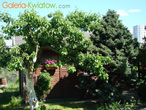 Stara jabłonka w ogrodzie