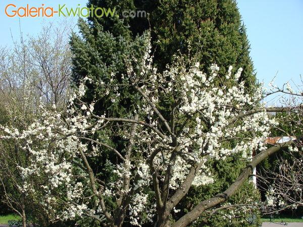 Stara magnolia