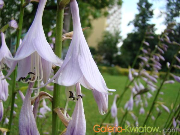 Zdjęcie kwiatu funkii