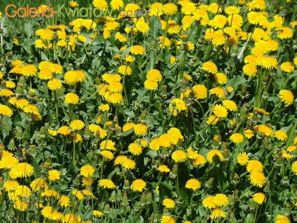 Żółte polne kwiaty
