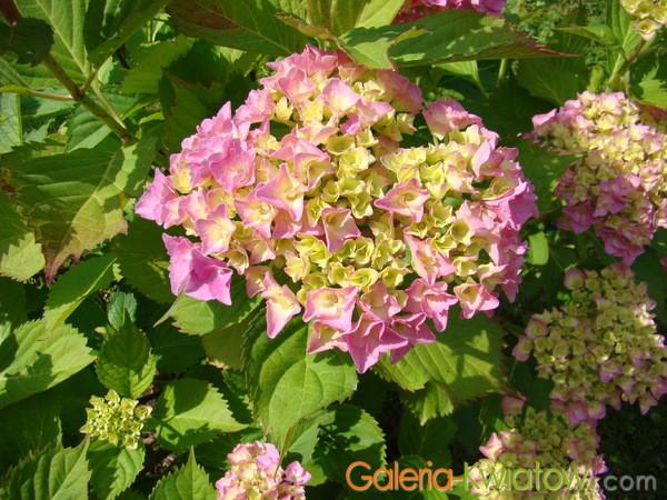 Hortensja kwitnienie