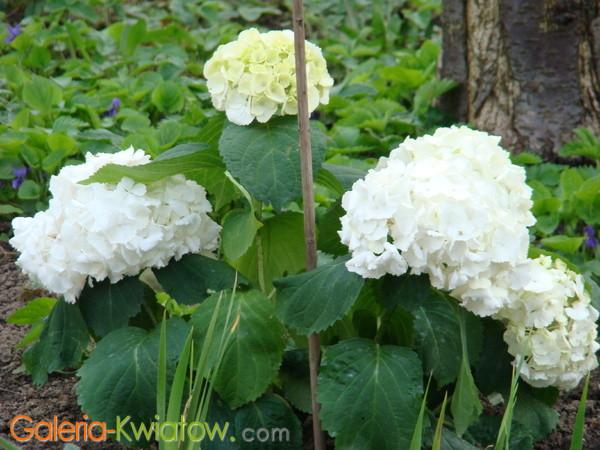Hortensje białe