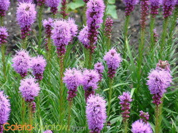Liatra fioletowa w ogrodzie