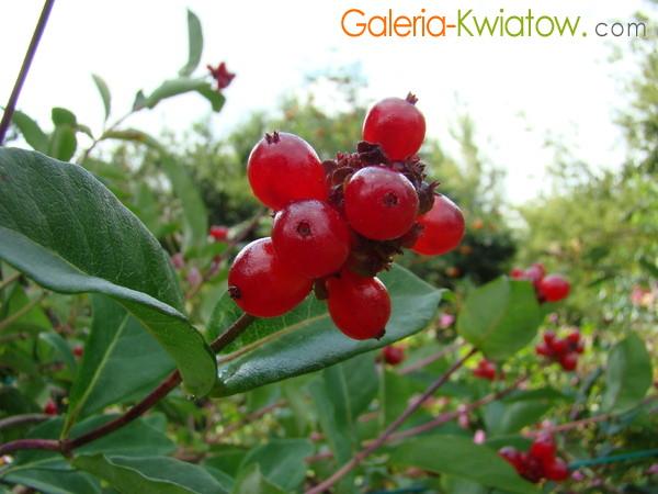 Czerwone owoce wiciokrzewu