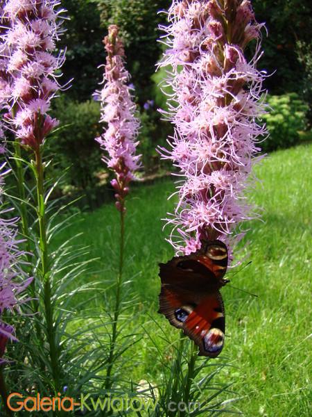 Motyle na kwiatach w ogrodzie