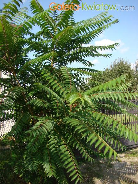 Aralia drzewo