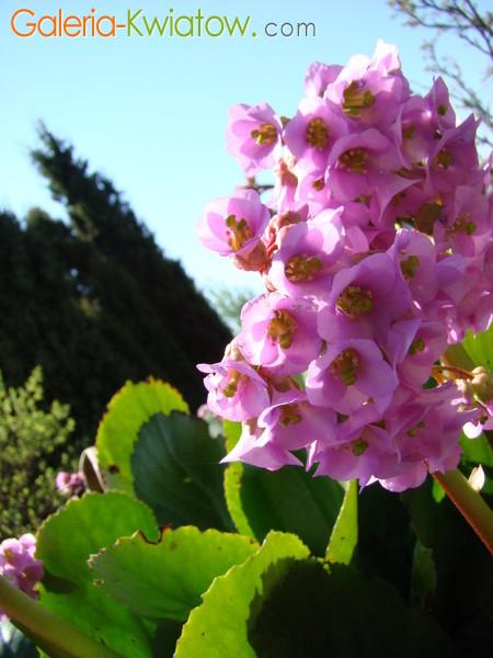 Bergenie kwiaty
