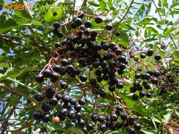 Czarny bez owoc