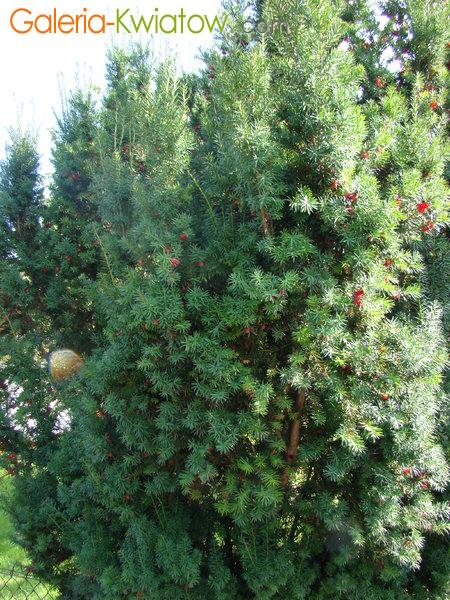 Krzewy cisu - krzewy cisowe