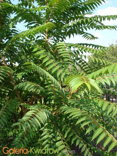 Liście aralii